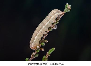 Neglected Rustic (Xestia castanea) moth caterpillar. Sitting on Heather.