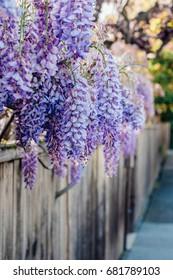 Neighborhood wisteria along a wooden fence in golden light