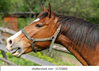 A neighing horse