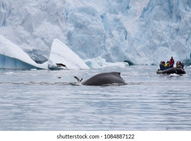Neko Harbour, Antarctica - December 25, 2016: A tour group in a zodiac or inflatable boat watch as a whale (Megaptera novaeangliae) dive and disturbs Antarctic gulls