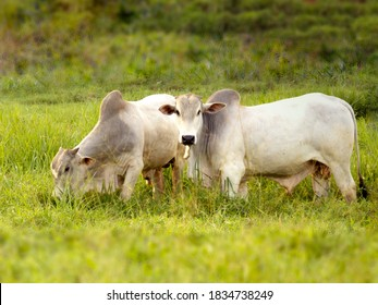 Nellore bull in the pasture of making in Brazil. Main cattle in the production of meat in the Brazilian market. Space for text. Copy space. Selective Focus - Shutterstock ID 1834738249