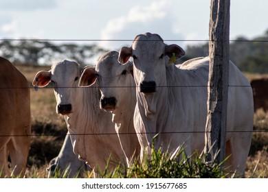 Nellore cattle on pasture in Brazil