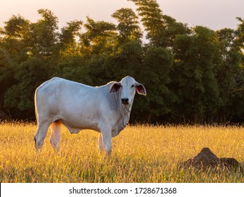Nellore cattle in pasture at the end of the day with sunset, nelore