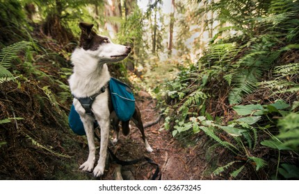 Nelly, a brown and white Border Collie, ready to blaze another trail through the Redwood forests of Humboldt County, Northern California.