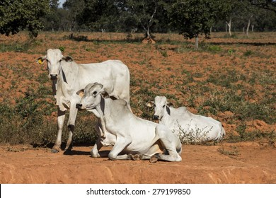Nelore Bovine Animal at Farm in Minas Gerais Brazil