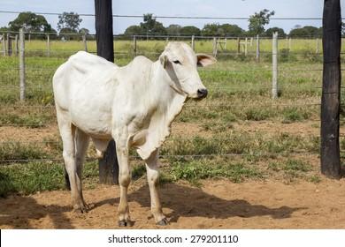 Nelore bovine animal at farm in Minas Gerais in Brazil