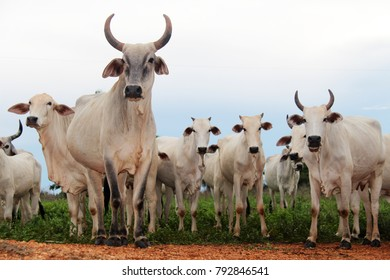 Nelore Breed Horn Cows