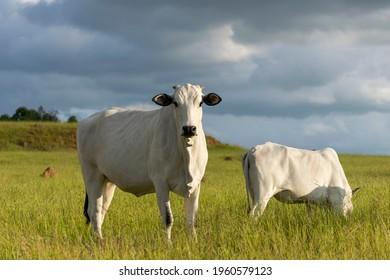 Nelore cattle in the farm pasture