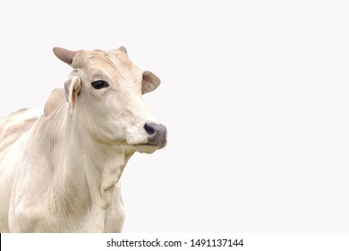 Nelore cattle on the white background. Livestock concept. Cattle for fattening. Space for text.
