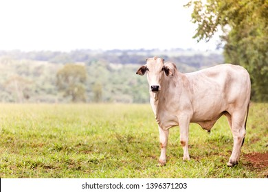 Nelore in the pasture of a farm in Brazil. Livestock concept. Cattle for fattening. Space for text.