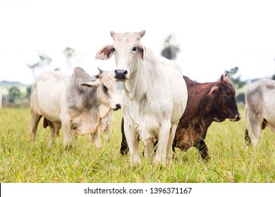 Nelore raised for fattening. Bovine originating in India and race representing 85% of the Brazilian cattle for meat production.