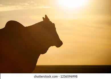 Nelore silhouette in sunset day. Bovine originating in India and race representing 85% of the Brazilian cattle for meat production.