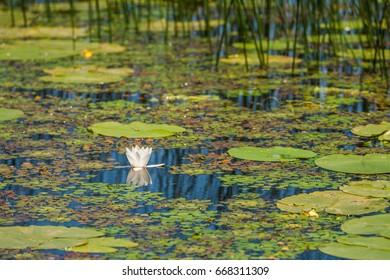 Nelumbo flower in Lake Skadar