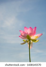 Nelumbo nucifera aka Indian or Sacred lotus. Pink flower viewed from underneath reaching to blue sky. With copyspace.