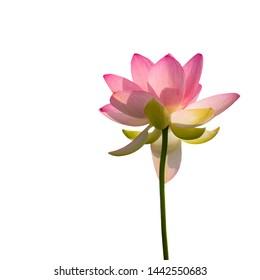 Nelumbo nucifera aka Indian or Sacred lotus. Pink flower viewed from underneath reaching upwards, isolated on white background.
