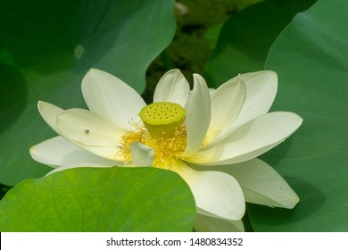 Nelumbo nucifera or Indian lotus aquatic plant also called water lily. A perenial from Asia with a long history commonly cultivated in water gardens.