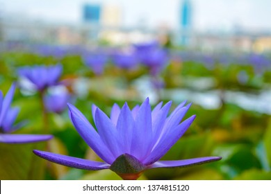 Nelumbo nucifera, also known as Indian lotus, sacred lotus, bean of India, Egyptian bean or simply lotus, is one of two extant species of aquatic plant in the family Nelumbonaceae. It is often colloqu