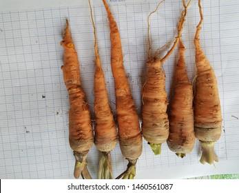 Nematode on Carrot (Meloidogyne spp.) in Viet Nam