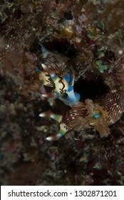 Nembrotha lineolata Nudibranch mating