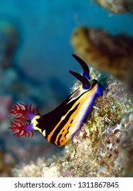 Nembrotha Nudibranch Red Sea, Nembrotha-megalocera