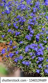 Nemesia flowers in the garden