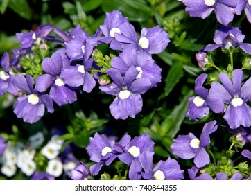 Nemesia fruticans 'Bluebird', ground cover ornamental with oval toothed green leaves and blue-purple flowers with pale yellow to nearly white eye, excellent for beds and pots.
