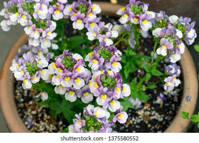 Nemesia plant in flower