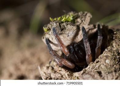Nemesia sp. inside the burrow.