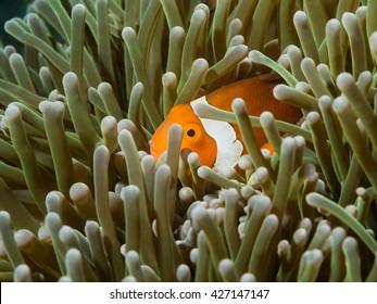 Nemo Clown fish Anilao Philippines