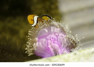 nemo fish in coral under water , puket
