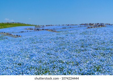 nemophila flower in ashikaga flower park