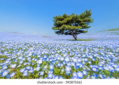 Nemophila, flower field at Hitachi Seaside Park in spring, Japan, selected focus on foregournd