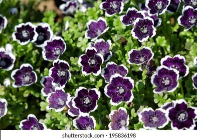 Nemophila menziesii. The Flower-beds in the spring.