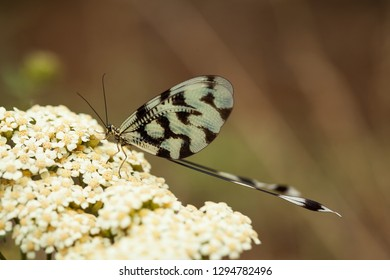 Nemoptera sinuata. The wild nature of Bulgaria.