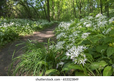 Nemosicka stran, hornbeam forest, interesting magic nature place full of blooming wild bear garlic, path throw the forest, sunny