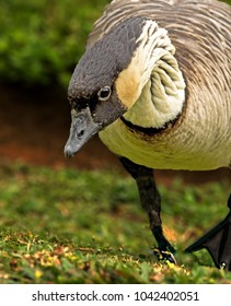 Nene Goose aggressively protects its turf on the island of Kauai