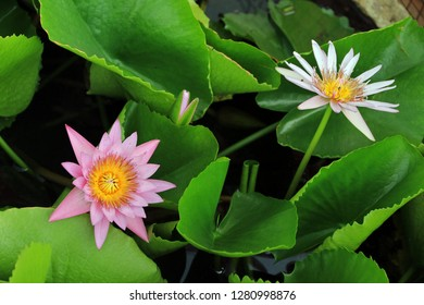 Nenuphar, lotos flower in Bang Pa-In Royal Palace, Thailand