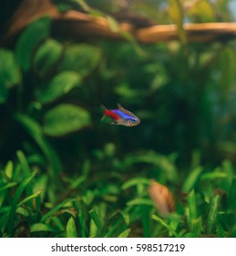 Neon fish in aquarium
