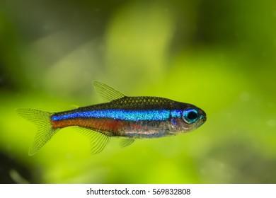 Neon Tetra blue freshwater fish.