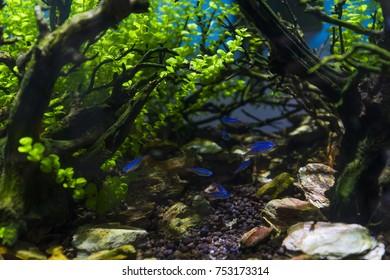 Neon Tetra Fish in Aquarium Planted Tank