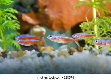 neon tetra fish in aquarium - SOME NOISE