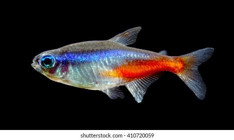 Neon tetra fish isolated on black