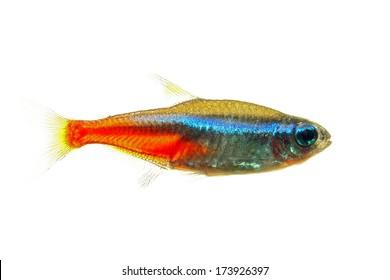 Neon tetra fish isolated white
