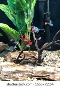 Neon tetras schooling in an aquarium