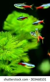 Neontetra with green caboma as background
