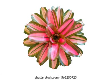 Neoregelia on white background, tropical plant in the Bromeliad flower family