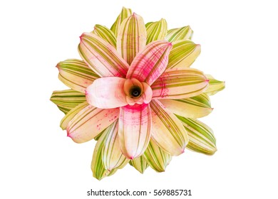 Neoregelia on white background, tropical plant in the Bromeliad flower family , Flower Isolated