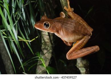 Neotropical treefrog (Hypsiboas faber)