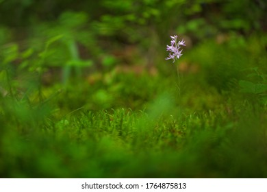 Neottianthe Cucullata, Hoodshaped Orchid, pink flower in nature forest habitat. Flowering European terrestrial wild orchid in nature habitat with clear background, Poland