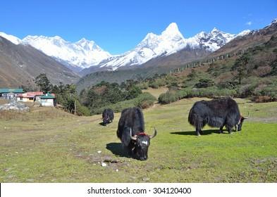 Nepal, Himalayas, yaks grazing on the background of mountains: mount Everest, Lhotse and Amadablam